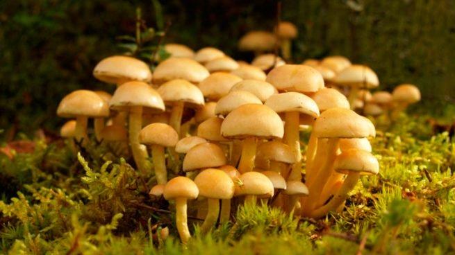 Hongos comestibles y su poder medicinal