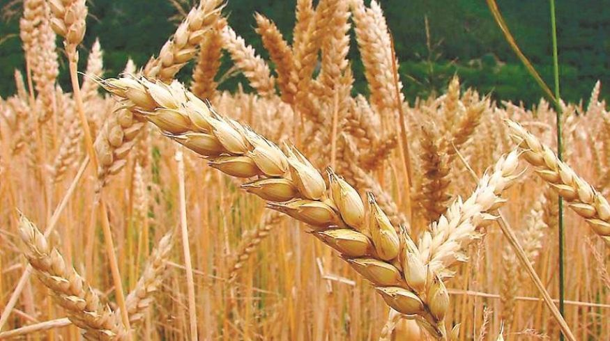 El trigo sarraceno, una alternativa sin gluten