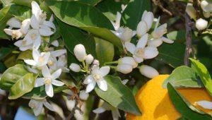 Planta medicinal Azahar, usos