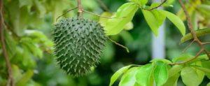Beneficios de tomar guanábana, fruta tropical deliciosa