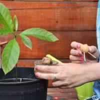 Cultivar aguacate en una maceta